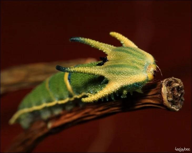 Oruga Polyura Sempronio sobre una rama