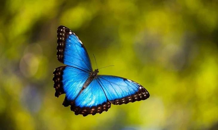 Mariposa Morpho azul volando