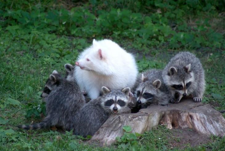 manada de mapaches dodne hay uno blanco