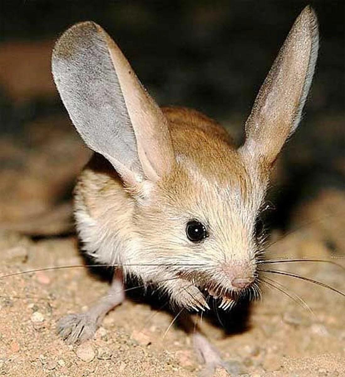 Kangaroo Rat Habitat And Range