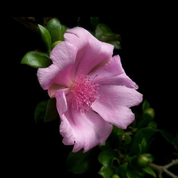 La rosa de Bayahibe es la flor nacional