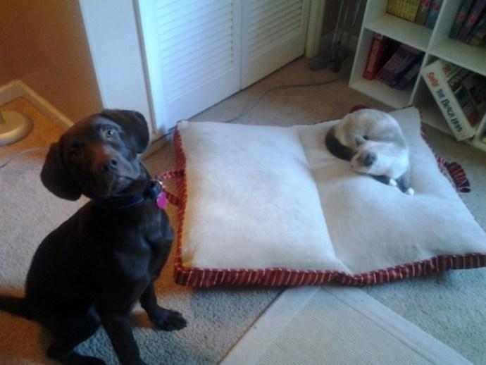 Proprietário de Labrador FILHOTE DE CACHORRO quer ajudar a tirar o gato