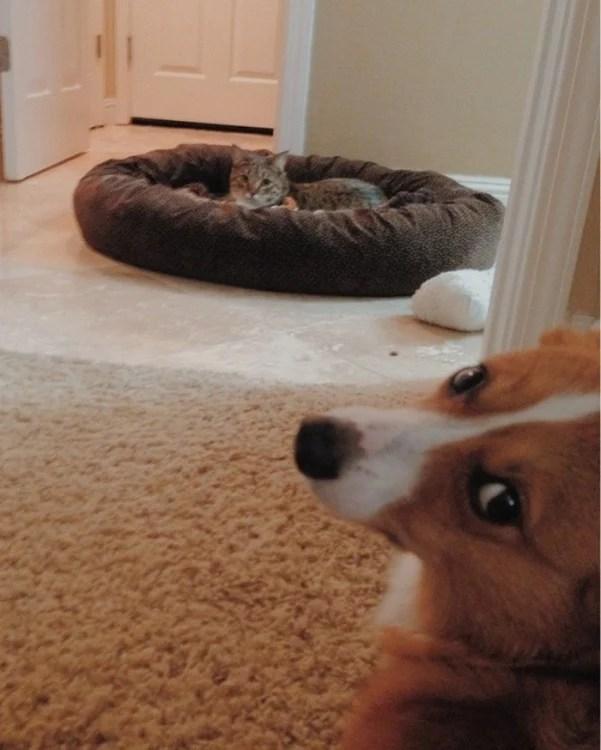 cão corgi à espera de seu dono irá remover a cama