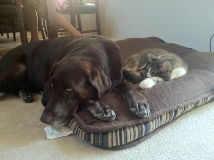 CHOCOLATE COR CÃO DE LABRADOR partilhar cama com Seu amigo, o CAT