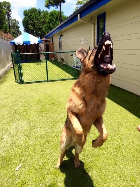 imagen de un perro pastor alemán a punto de comerse una burbuja de jabón
