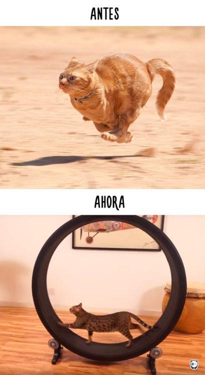gato corriendo antes al aire libre, ahora en un rueda que gira