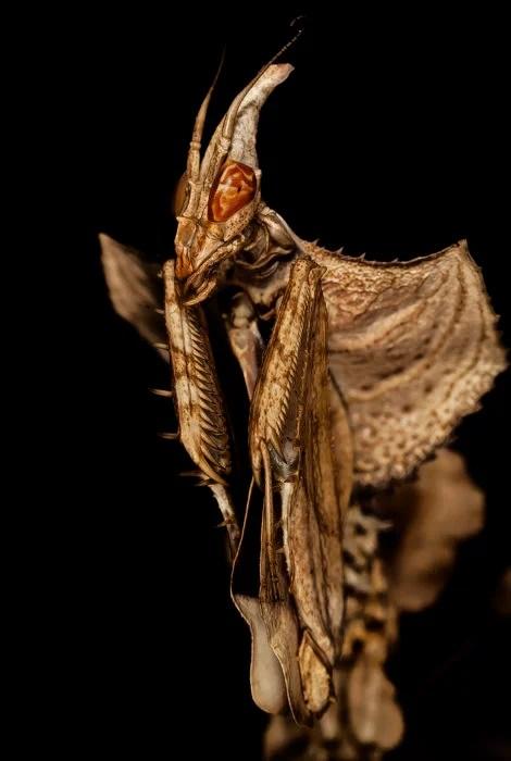 mantis del diablo