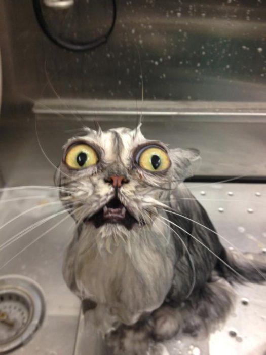 gato remojado