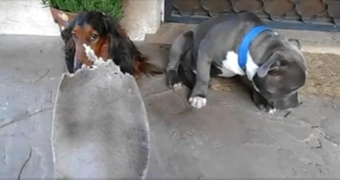 Dos perros siendo regañados por una plantilla mordida