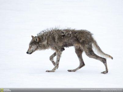 lobo flaco en paisaje nevado