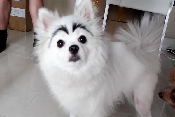 perro pomeriano con cejas negras