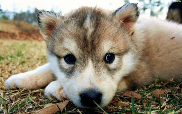 lobo bebé