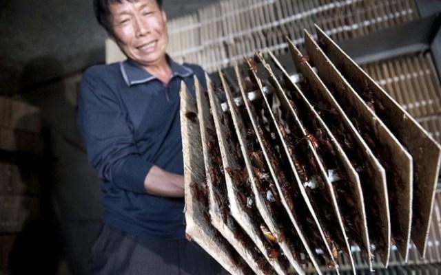 comunidad de cucarachas china