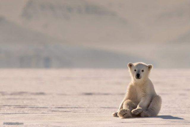 oso polar bebé polo paisaje