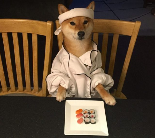 Shiba Inu vestido de cocinera sushi