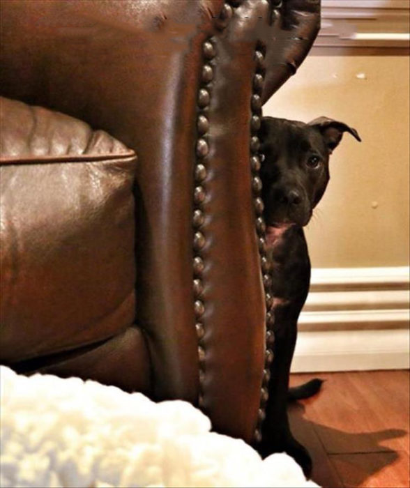 perro escondido atras del sillon