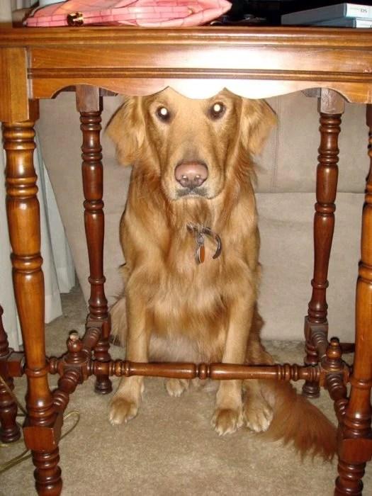 perro escondido abajo de la mesa