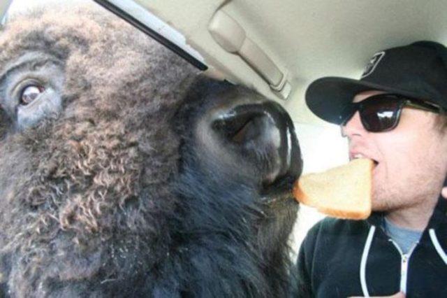 hombre y búfalo copartiendo un pan