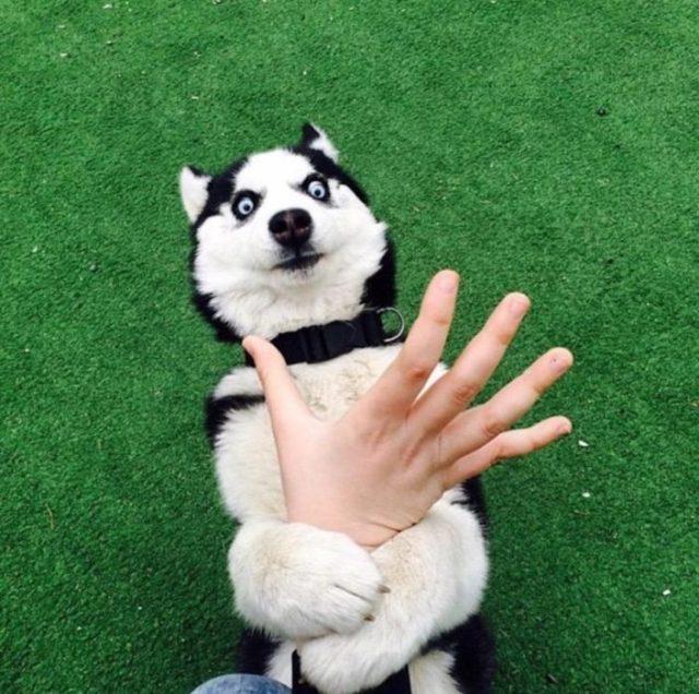 husky deteniendo una mano pasto verde