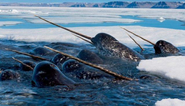 unicornios marinos en riesgo de extinción