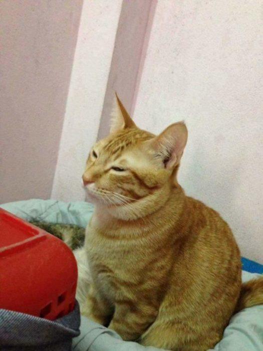 gato inquieto amarillo yello