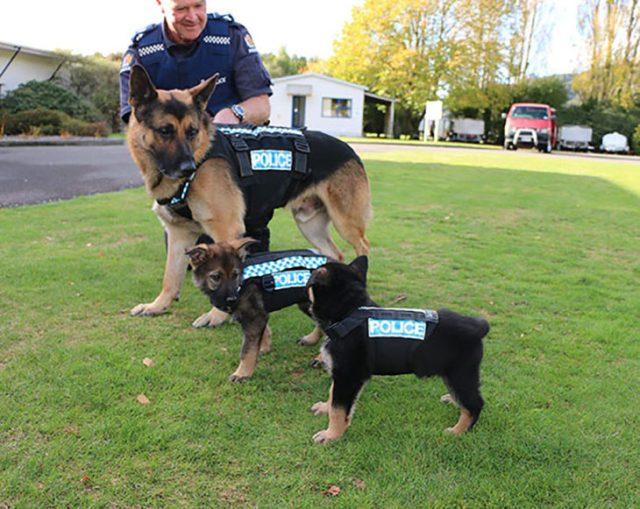 perro adulto policía y 2 cachorros