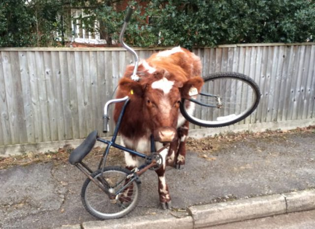vaca atorada en una bicicleta