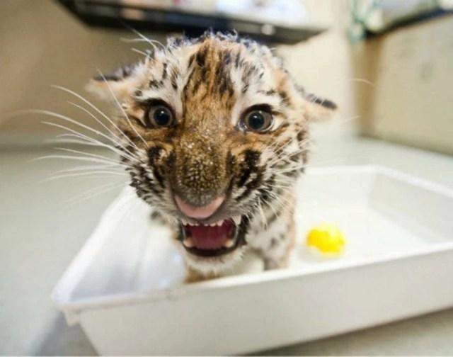 tigre enojado