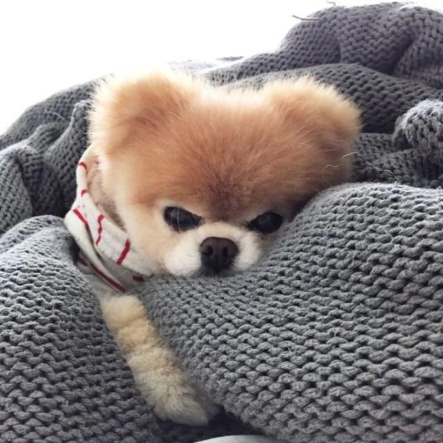 perro enojado esponjoso