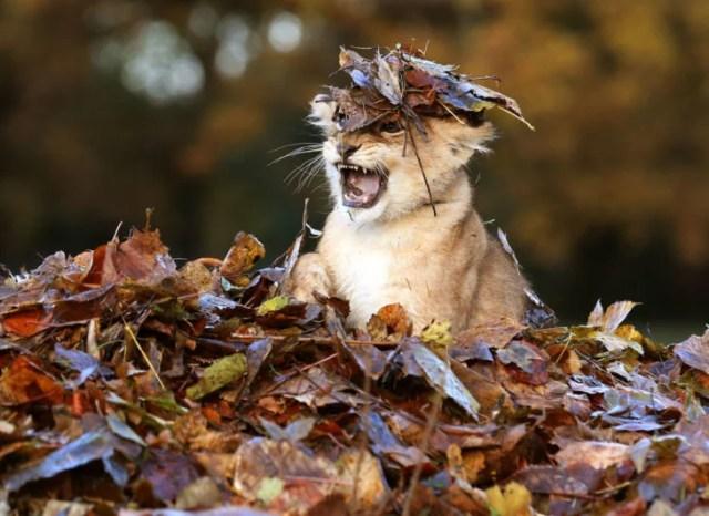 tigre cachorro otoño