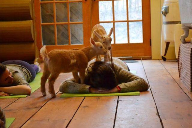 Yoga con cabras 2