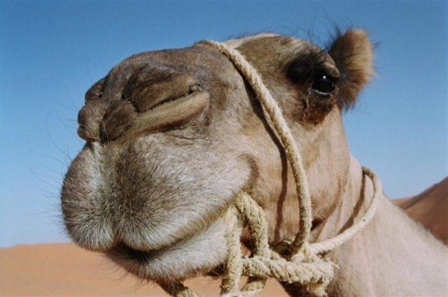 camellos con 3 parpados