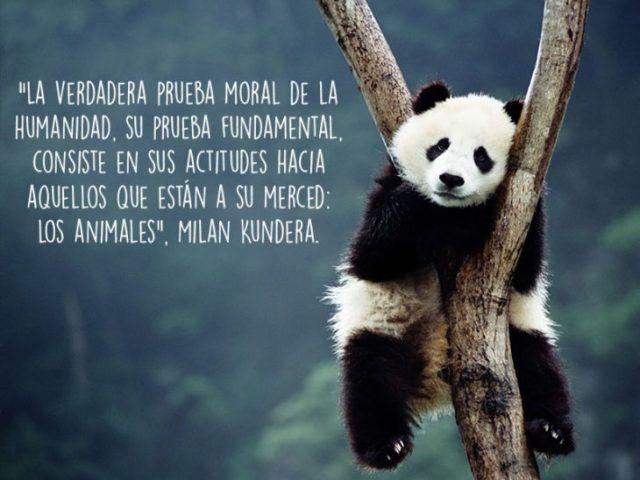 panda animales foto oración Natgeo