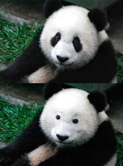 oso panda con rímel y sin rímel