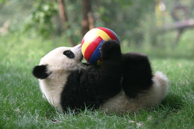 panda acostado con una pelota jugando