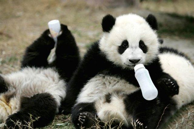 osos panda tomando biberón