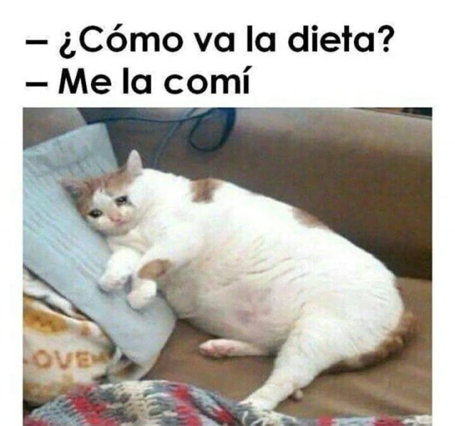 meme dieta gatito gordo