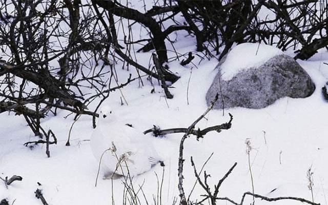 camuflaje lagópodo escandinavo