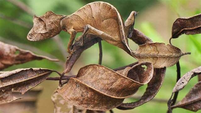 geco cola de hoja camuflaje