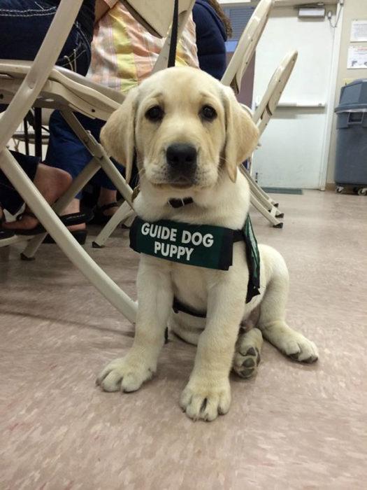 labrador blanco cachorro de servicio