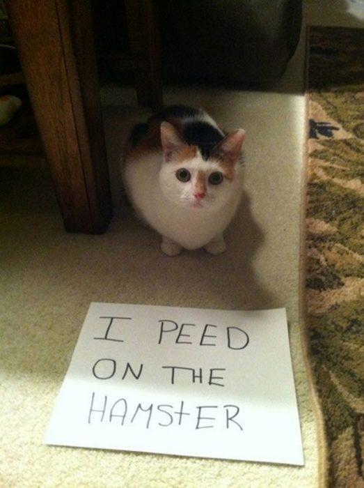 gato letrero hamster