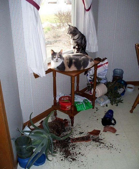 gatos tiran todo de la mesa para asomarse