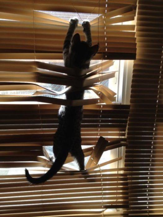 Gato destroza persianas