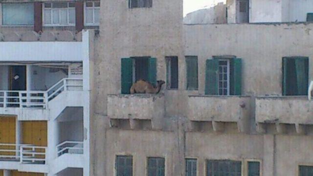 Imágenes incomprensibles - camello en un balcón