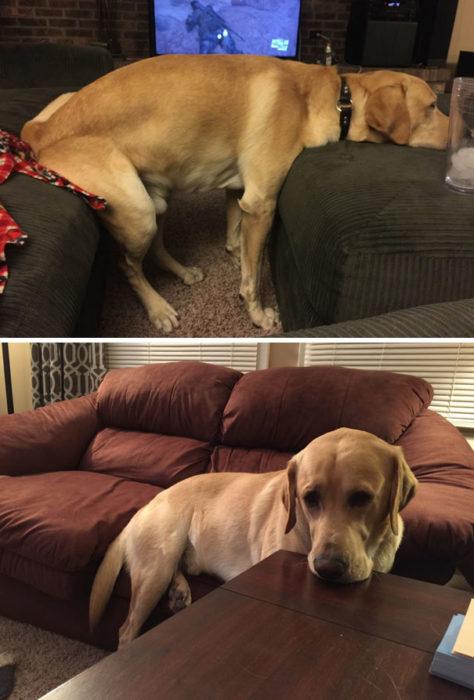 Perro acostándose en los sillones