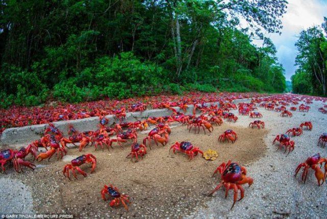 migración del cangrejo