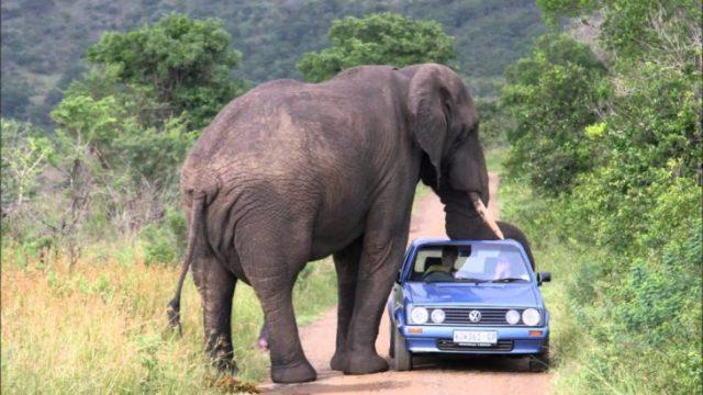 elefante alcanza con su trompa un carro