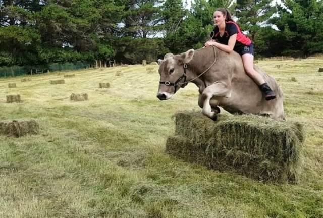 Vaca brinca obstáculos mientras chavala la cabalga