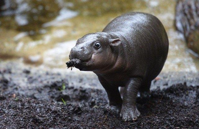 hipopótamo comiendo tierra