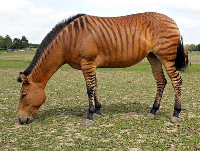 ceboride que es híbrido de zebra y burro